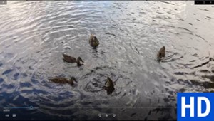 "<a href=""/go/zoom-video-007-ducks-on-pond"" target=""_blank"">Download</a>"